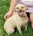 LOST CHIHUAHUA - ONTARIO